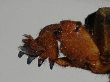 Przednia kończyna turkucia podjadka